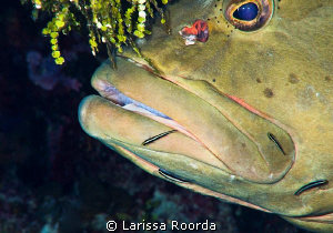 Grouper getting detailed.  Little Cayman